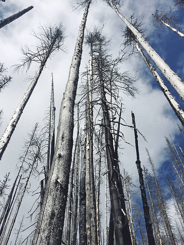 Low angle view of fire damaged forest, Cascades, WA, USA by Paul Edmondson for Stocksy United