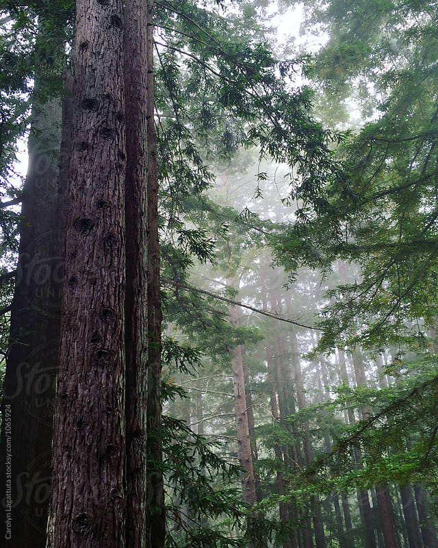 Forest filled with fog and redwoods by Carolyn Lagattuta for Stocksy United