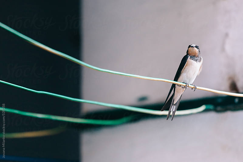 City swallow sitting on a clothes wire by Jovana Milanko for Stocksy United