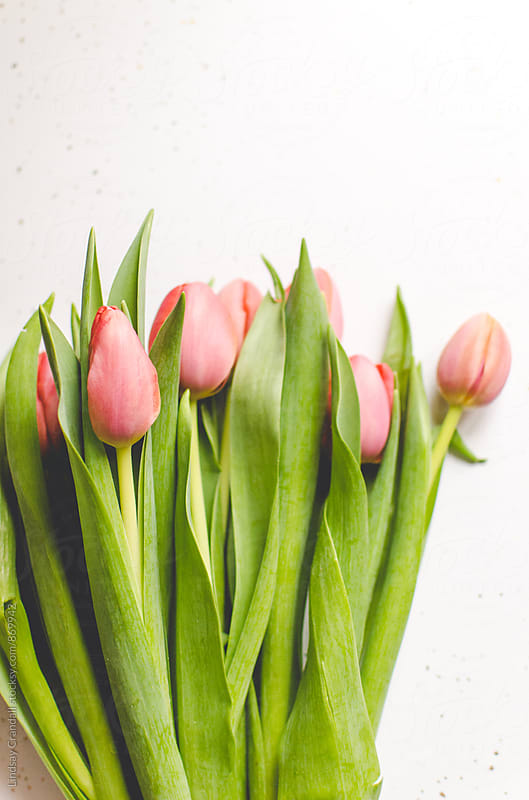 A bunch of pink tulips lying on a white background by Lindsay Crandall for Stocksy United