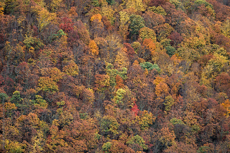Forest tree tops in fall season by Matthew Spaulding for Stocksy United