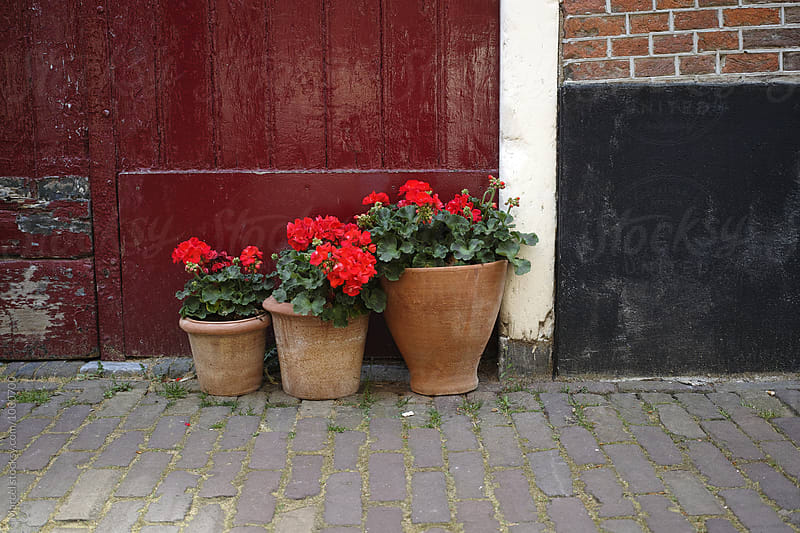 Three pots with pelargoniums by Marcel for Stocksy United