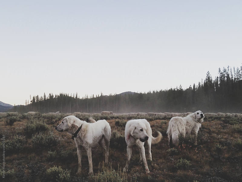 Pyrenees Livestock Guard Dogs by Kevin Russ for Stocksy United