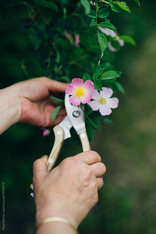 Woman picking dog rose flowers by Pixel Stories for Stocksy United
