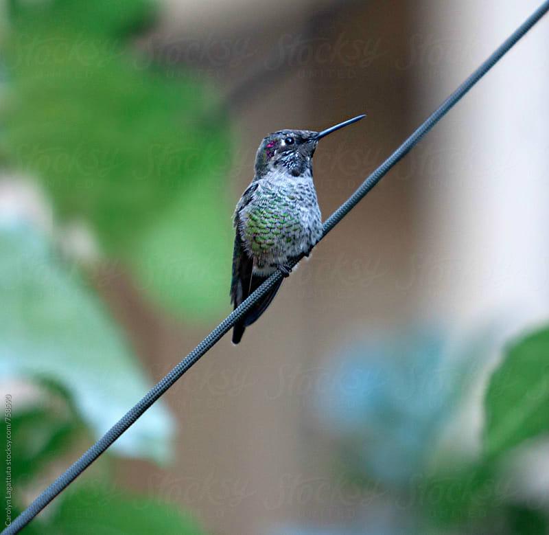 Baby hummingbird resting on a wire by Carolyn Lagattuta for Stocksy United
