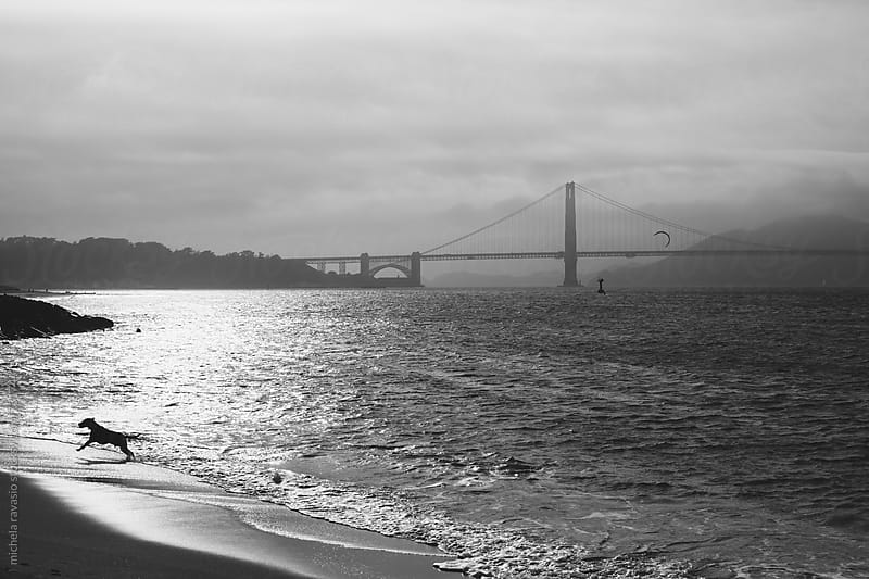 Dog running on the beach with the Golden Gate Bridge  on the background by michela ravasio for Stocksy United