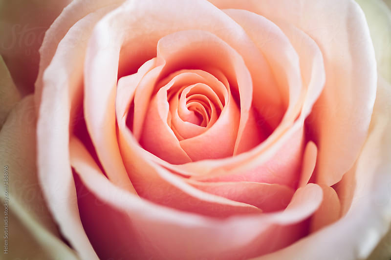 Light Pink Rose by Helen Sotiriadis for Stocksy United