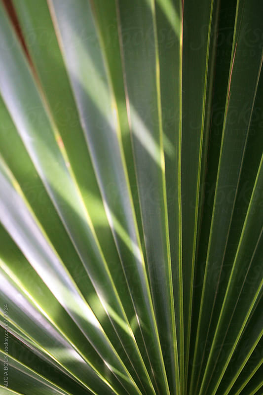 Close Up Of Vibrant Green Palm Fronds In Morning Light by ALICIA BOCK for Stocksy United