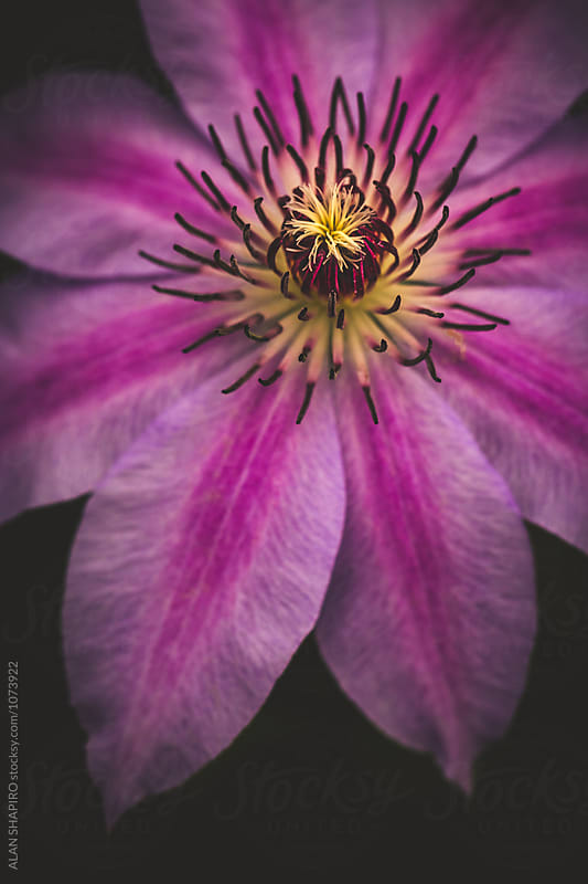 Clematis by ALAN SHAPIRO for Stocksy United