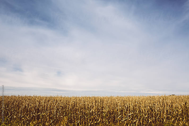 Iowa Cornfields by Anjali Pinto for Stocksy United