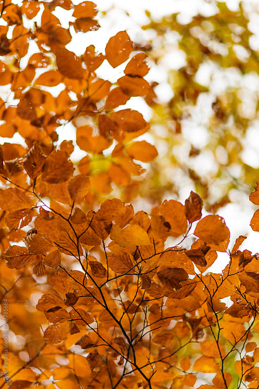 part of a tree with red autumn leaves by Javier Pardina for Stocksy United