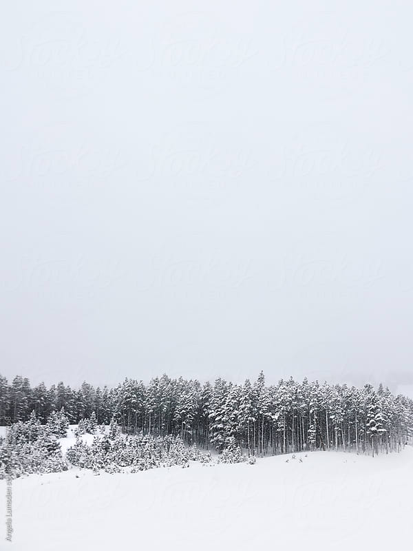Pine trees in the snow by Angela Lumsden for Stocksy United