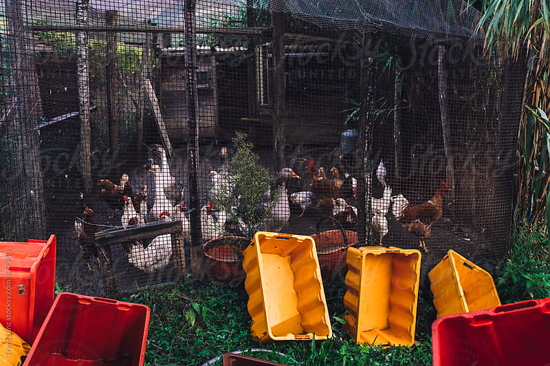 Geese and chickens in enclosure at farm by Trent Lanz for Stocksy United