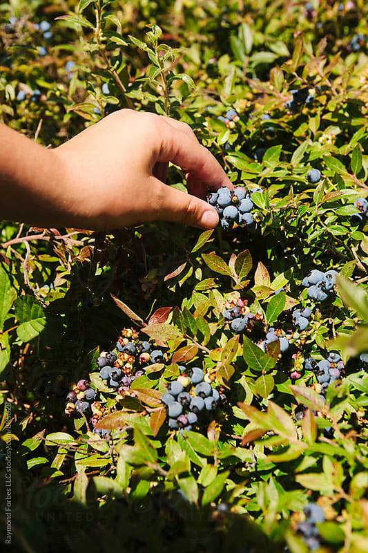 Picking Blueberries by Raymond Forbes LLC for Stocksy United
