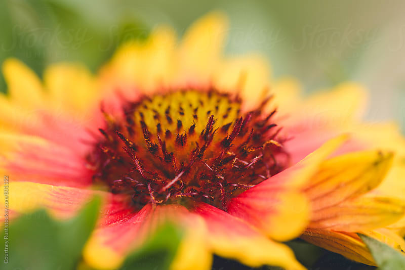 Indian Blanket by Courtney Rust for Stocksy United