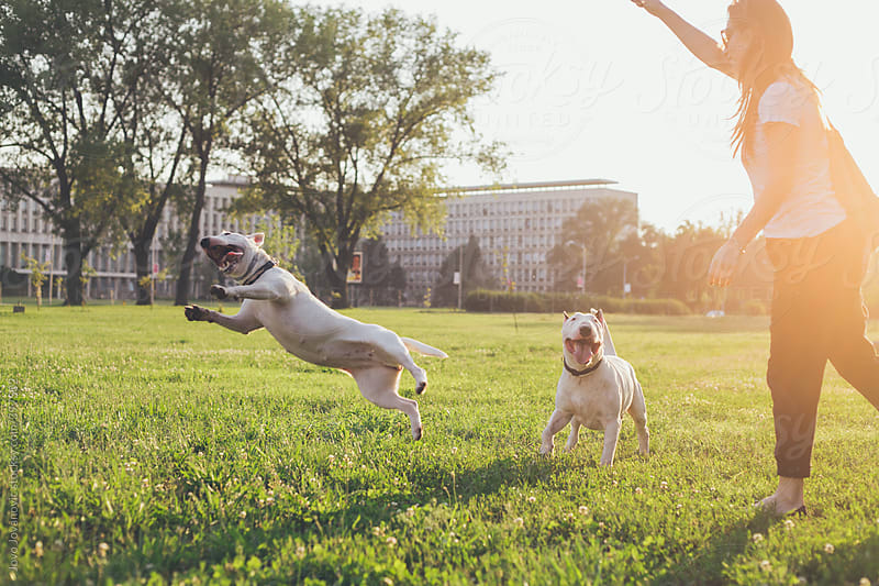 Two bull terriers having fun together  by Jovo Jovanovic for Stocksy United