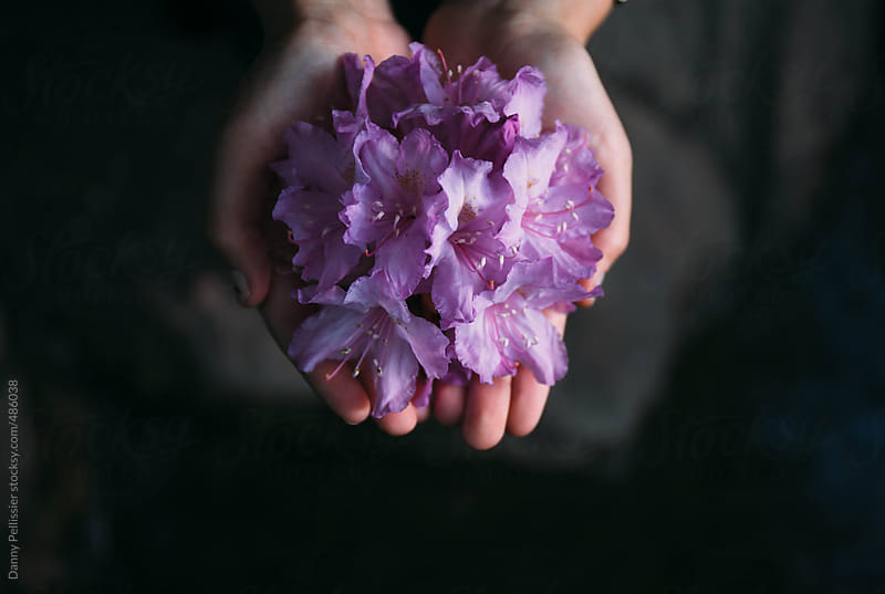 Hands holding a rhododendron. by Danny Pellissier for Stocksy United