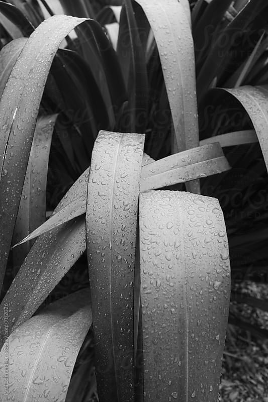Close up raindrops on New Zealand flax  by Paul Edmondson for Stocksy United