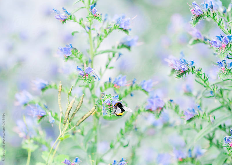 Close up of bumblebee perching on blueweed plants by Laura Stolfi for Stocksy United
