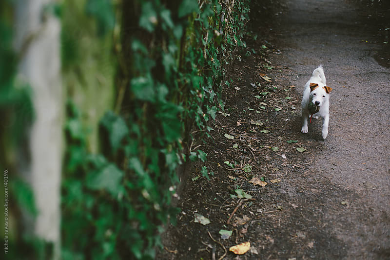 Small white dog in a country lane by michela ravasio for Stocksy United