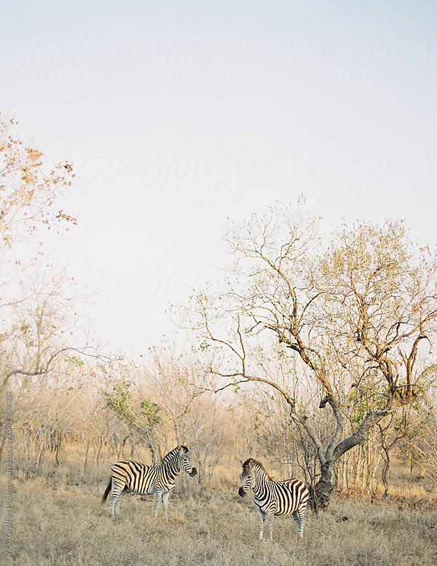 Zebra on Safari in South Africa  by Vicki Grafton Photography for Stocksy United