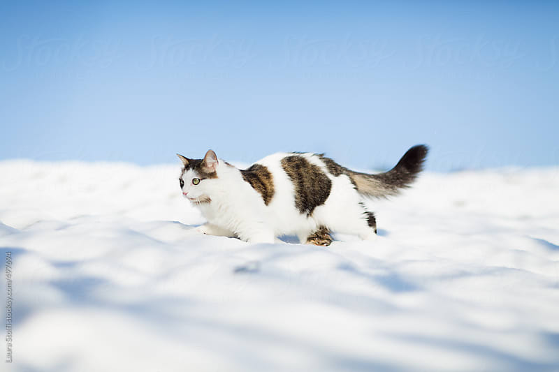 Siberian cat walking on covered with snow roof by Laura Stolfi for Stocksy United