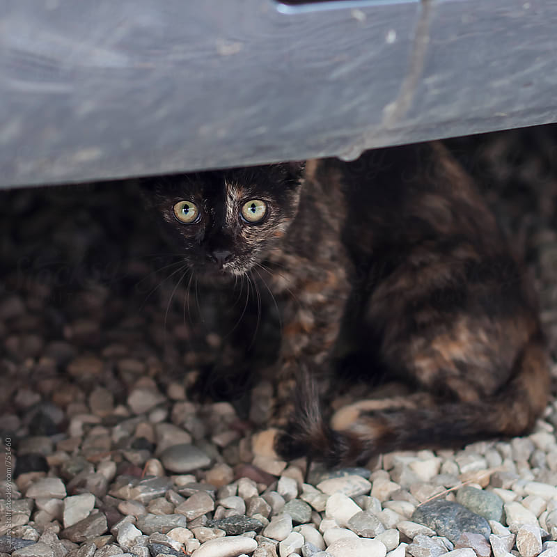 Calico kitty cat sits under car and looks furtively at the camera by Laura Stolfi for Stocksy United