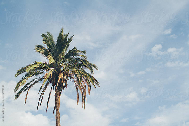 A palm with a blue sky by Jonas Räfling for Stocksy United