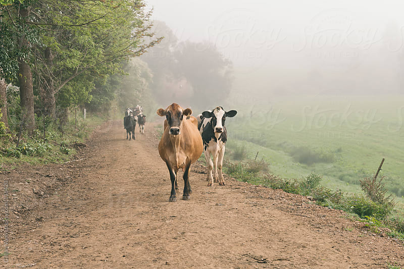 cows at dawn by Gillian Vann for Stocksy United