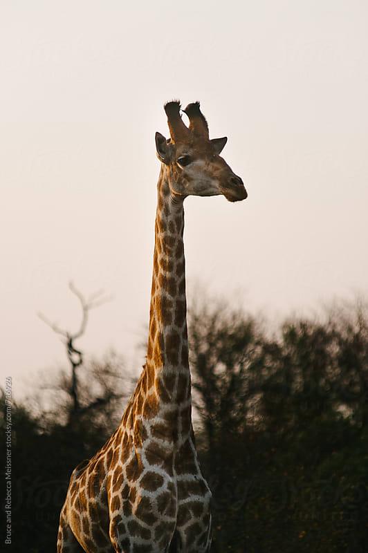 Giraffe Sunset by Bruce and Rebecca Meissner for Stocksy United