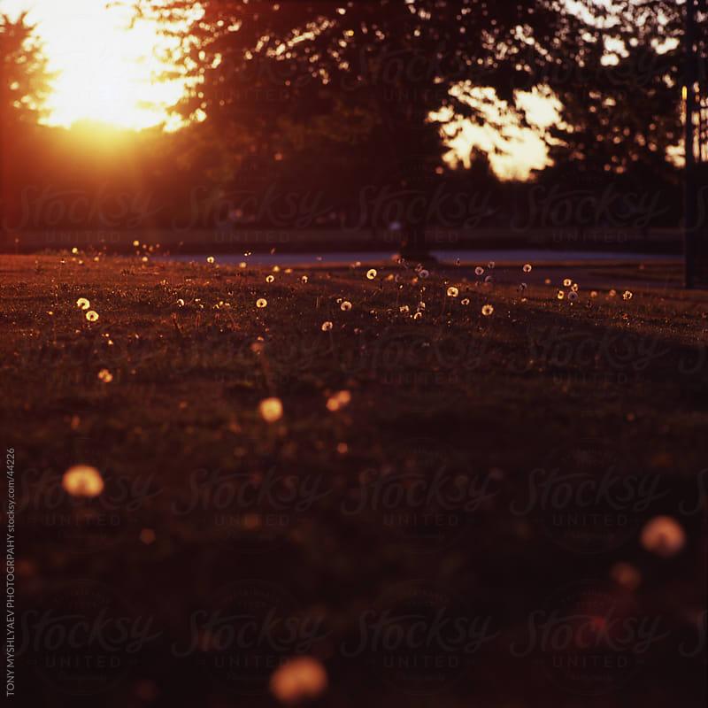 The Glowing Dandelions by TONY MYSHLYAEV PHOTOGRPAHY for Stocksy United