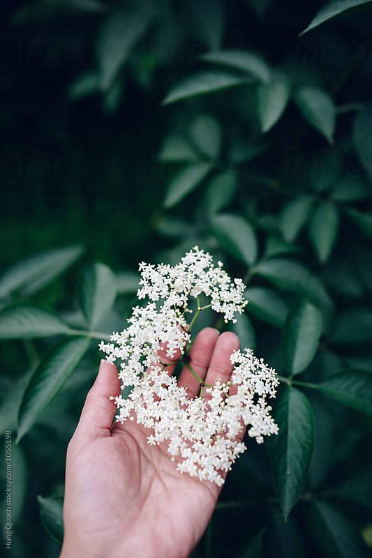 Elderflower by Hung Quach for Stocksy United