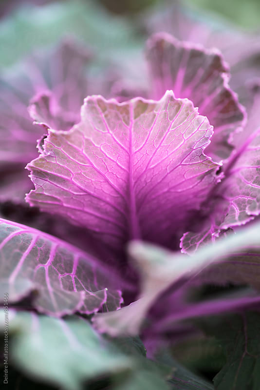 closeup of purple kale leaf by Deirdre Malfatto for Stocksy United