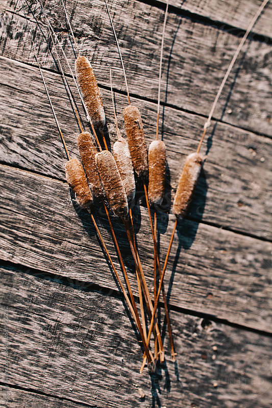 Brown cattail on a wooden surface by Sergey Filimonov for Stocksy United