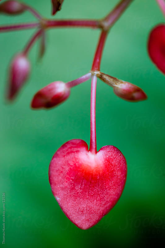 Heart shaped flower petal by Thomas Hawk for Stocksy United
