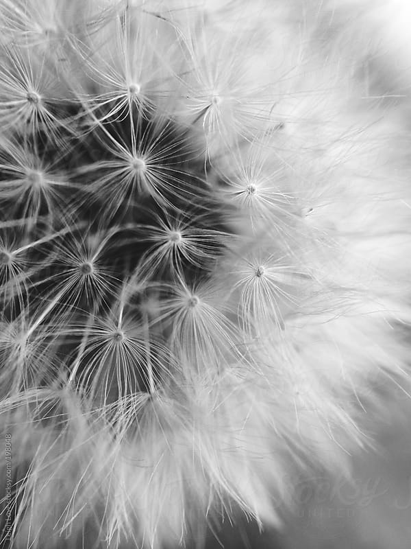 Closeup of A Dandelion by Leigh Love for Stocksy United