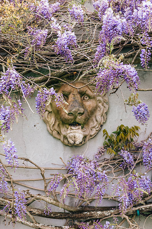 Wisteria growing around a lion statue by Jen Grantham for Stocksy United