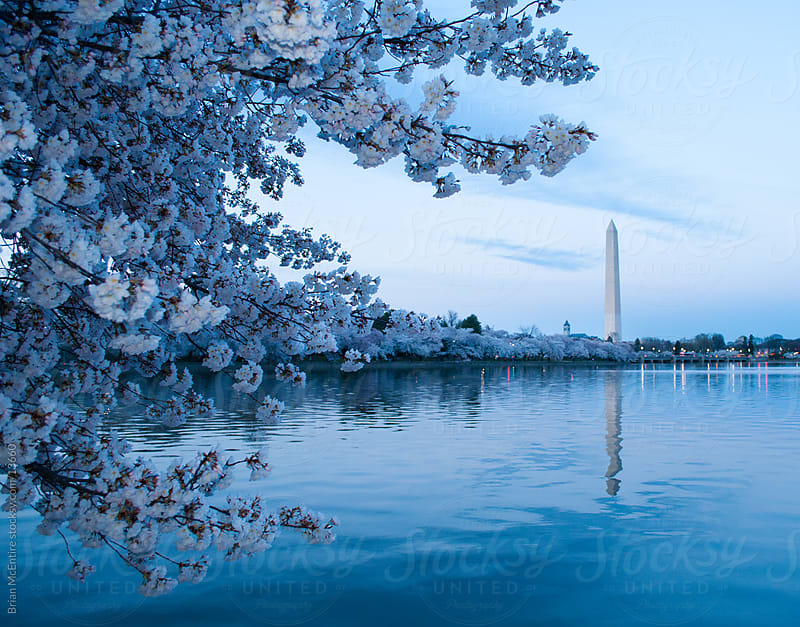 Cherry Blossoms: Washington Monument Across Tidal Basin by Brian McEntire for Stocksy United