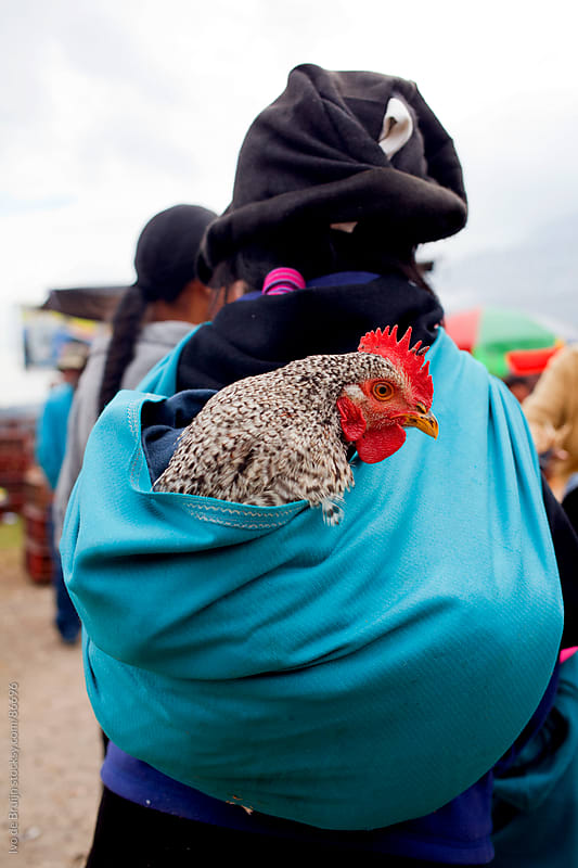 An indian woman carrying a comfortable living chicken on her back by Ivo de Bruijn for Stocksy United