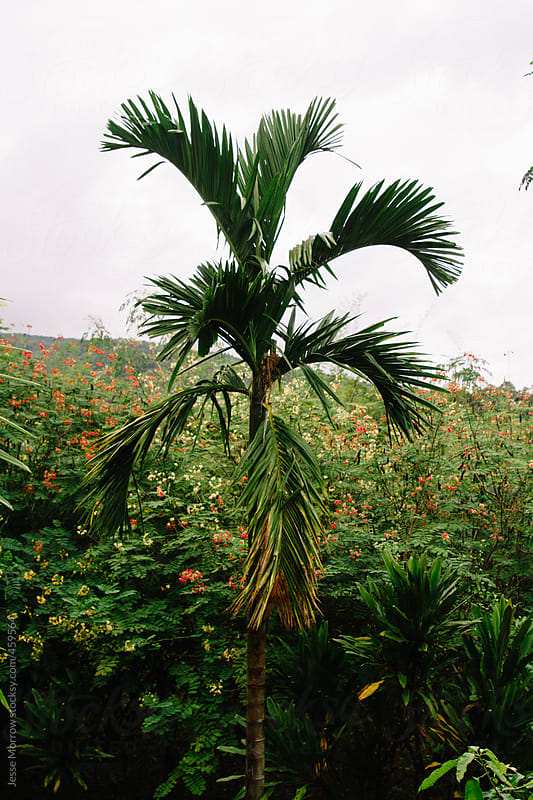 Single palm tree stands tall above the rest of the asian jungle  by Jesse Morrow for Stocksy United