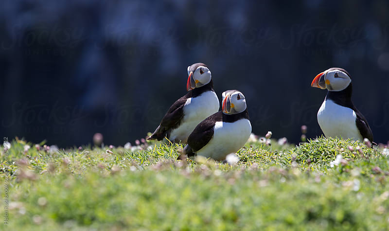 Three Puffins by Helen Rushbrook for Stocksy United