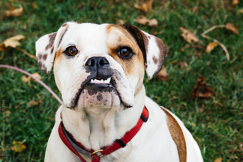 A pied English Bulldog puppy portrait looking at the camera by J Danielle Wehunt for Stocksy United