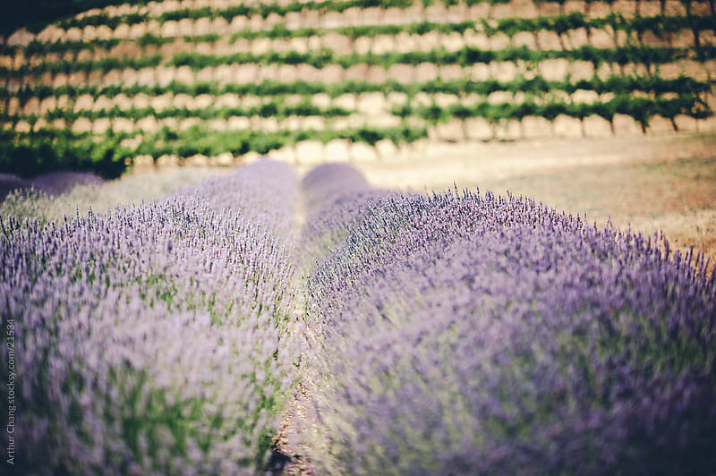 Lavender Fields by Arthur Chang for Stocksy United