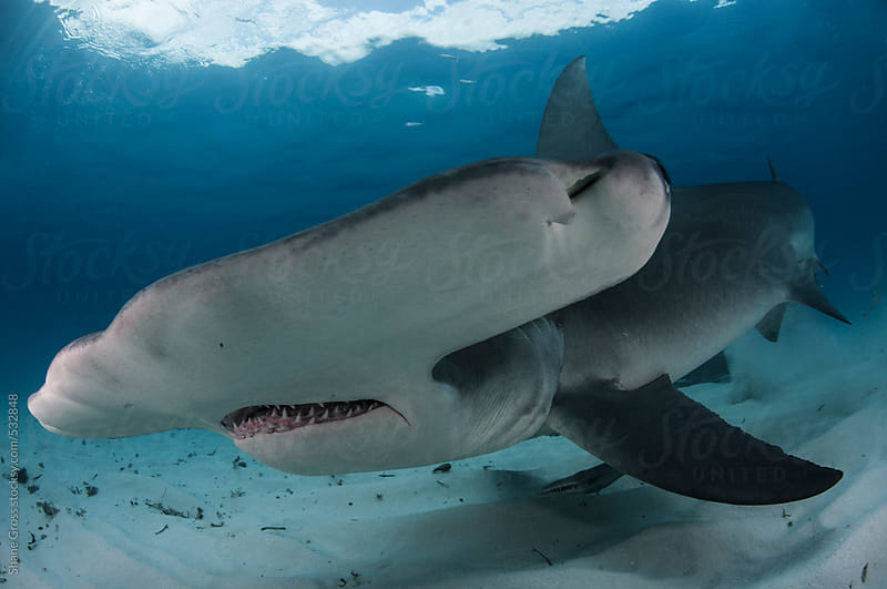 Great Hammerhead Shark Close Up by Shane Gross for Stocksy United