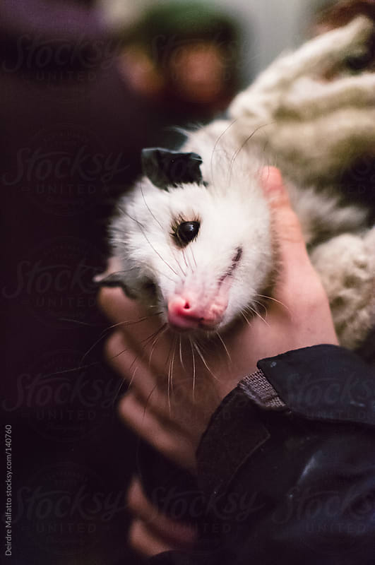 baby opossum by Deirdre Malfatto for Stocksy United