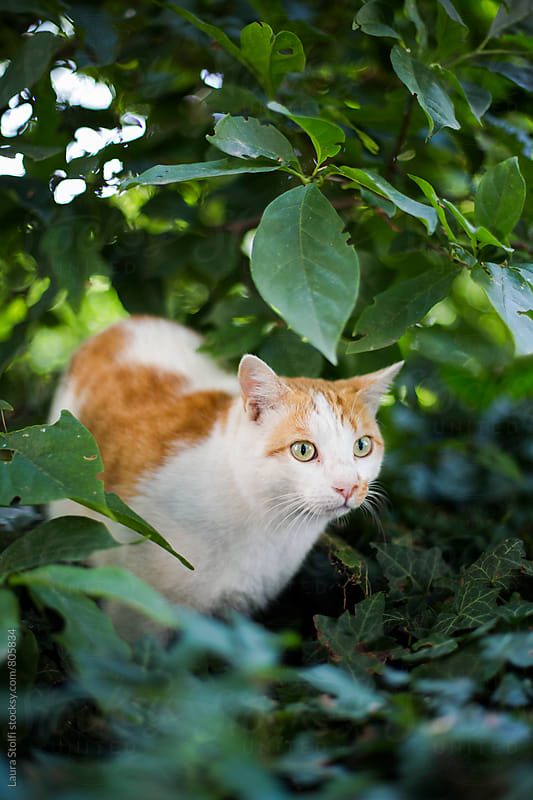 Cat ready to jump while in ambush in shrub by Laura Stolfi for Stocksy United