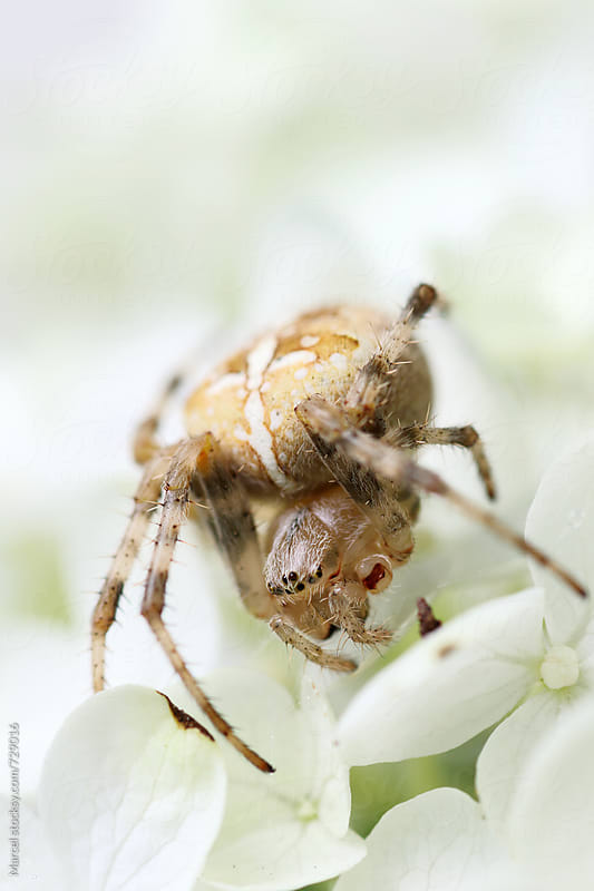 European garden spider on hydrangea flower by Marcel for Stocksy United