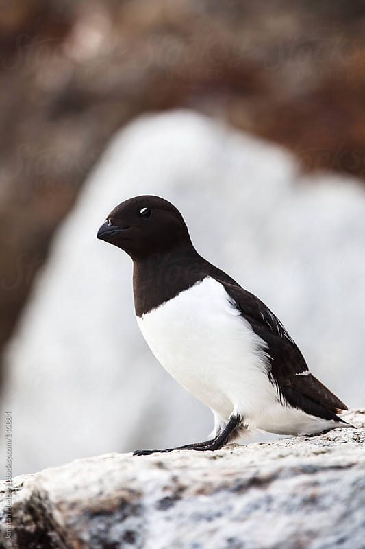 Little auk by Jonatan Hedberg for Stocksy United