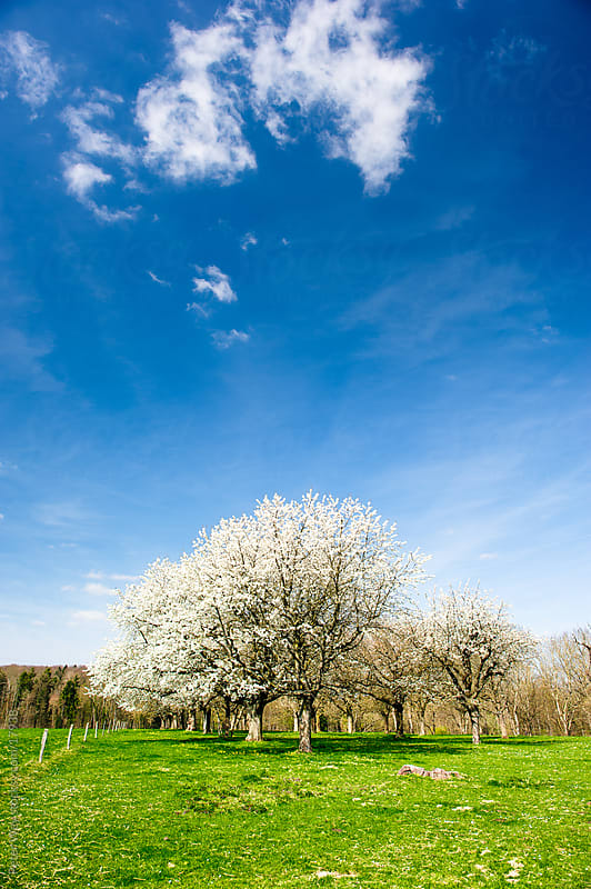 Nature in Spring: blossoming trees on green meadow by Peter Wey for Stocksy United