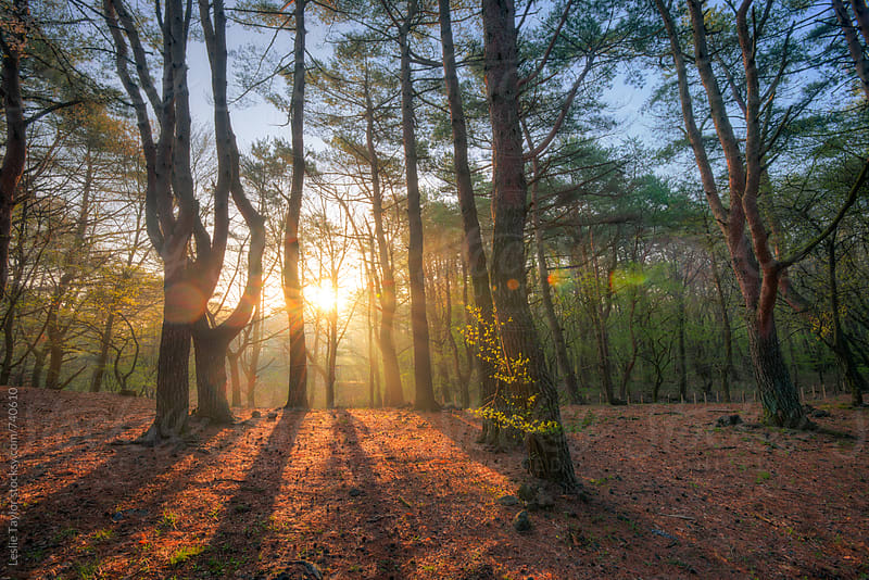 Sunrise Through The Pines by Leslie Taylor for Stocksy United